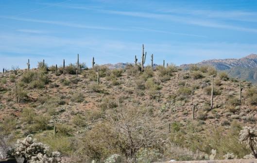 saguaro_catcus